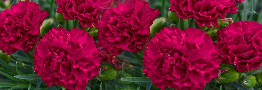 Plante perene decorative prin flori