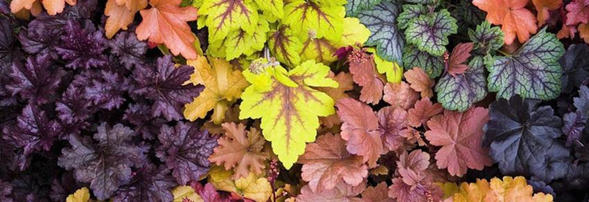 Plante perene decorative prin frunze