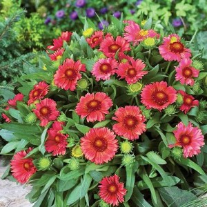 "Gaillardia cu flori roșii (Gaillardia ""Arizona Red Shades"")"