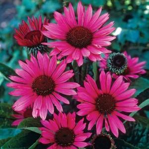 "Echinaceea cu flori bordo - purpuriu - Echinacea purpurea ""Fatal Attractiony"""