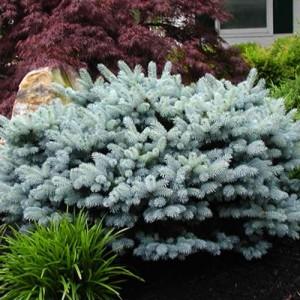 """Molid globulos argintiu (Picea pungens """"Glauca Globosa"""")"""