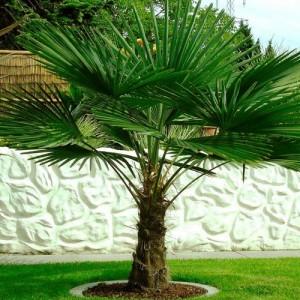 Palmier - Trachycarpus fortunei