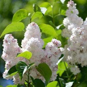 "Liliac cu flori roz spre albe (Syringa vulgaris ""Beauty of Moscow"")"