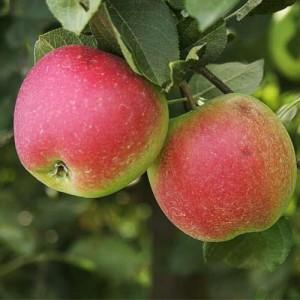 """Măr de vară-toamnă """"Romus"""" MM106"""