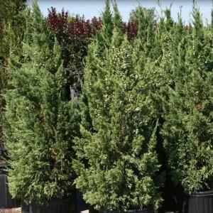"Ienupăr verde columnar (Juniperus chinensis ""Keteleeri"")"