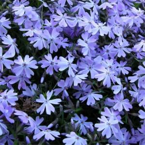 """Brumărele târâtoare albastru liliachiu (Phlox subulata """"Emerald Cushion Blue"""")"""