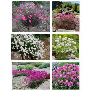 Aranjament armeria – flori roz, albe și frunziș roșiatic