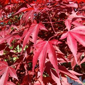 """Artar japonez rosu (Acer palmatum """"Atropurpureum"""")"""
