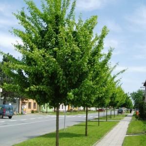 Jugastru ornamental (Acer campestre 'Elsrijk')