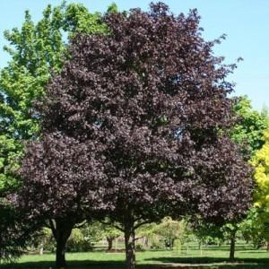 "Arțar cu frunziș roșu-bordo (Acer platanoides ""Royal Red"")"