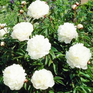 "Bujor cu flori albe (Paeonia officinalis ""Alba Plena"")"