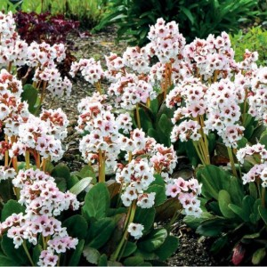 """Bergenia cu flori albe (Bergenia """"Angel Kiss"""")"""