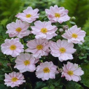 """Florea vântului roz (Anemone × hybrida """"Lorelei"""")"""