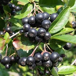 Aronia - Scorus negru