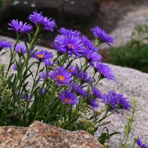 "Aster pitic cu flori albastre (Aster alpinus ""Dunkle Schöne"")"