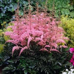 Astilbe cu flori roz (Astilbe x arendsii 'Flamingo')