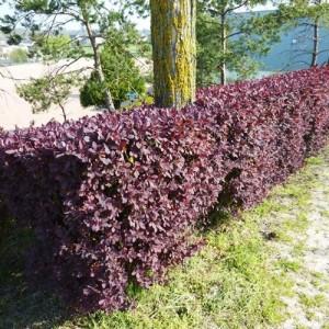 Dracila bordo spre vișiniu (Berberis × ottawensis 'Superba') NU SE LIVREAZA PRIN CURIER!