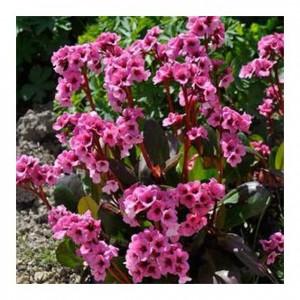 """Bergenia cu flori roz (Bergenia """"Pink Dragonfly"""")"""