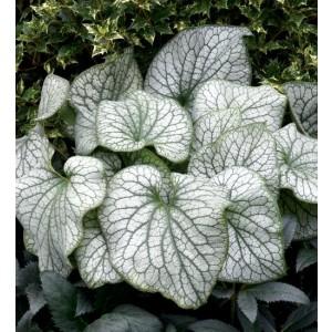 Brunnera argintie (Brunnera macrophylla 'Alexander's Great')
