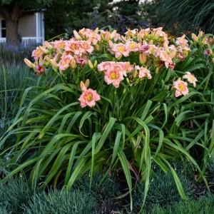 Crin de vară de culoarea piersicii (Hemerocallis 'Elegant Candy')