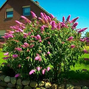 """Liliac de vară cu flori roz (Buddleja davidii """"Pink delight"""")"""