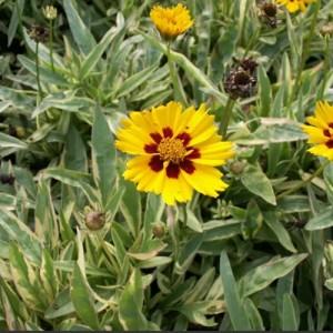 Coreopsis variegat (Coreopsis grandiflora 'Variegata')