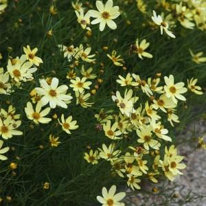 """Coreopsis cu flori galben unt (Coreopsis verticillata """"Moonbeam"""")"""