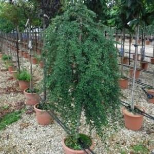 """Cotoneaster cu frunzele mici-Cotoneaster dammeri """"Coral Beauty"""""""