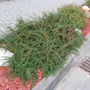 Cotoneaster orizontal (Cotoneaster horizontalis)
