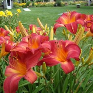 Crin de vară roșie - Hemerocallis Cherry Point