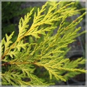 """Leiland verde cu galben -Cupressocyparis leylandii (""""Robinson's Gold"""")"""