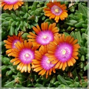 Floarea de cristal portocalie (Delosperma 'Sundella Apricot')