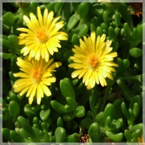 Delosperma nubigeum