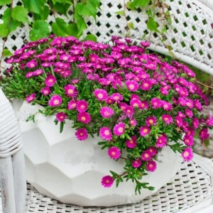 Floarea de cristal roz (DELOSPERMA 'JEWEL OF DESERT OPAL')