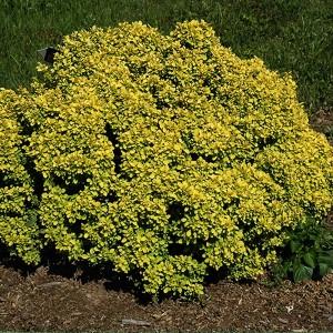 """Dracila pitică galbenă - Berberis thunbergii """"Golden Devine"""""""