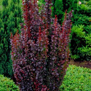"Dracila bordo - Berberis thunbergii atropurpurea ""Helmond Pillar"""