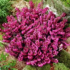 Erica cu flori roz (Erica carnea)