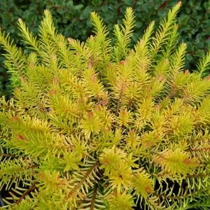 Erica cu frunziș galben (Erica carnea  'Foxhollow')