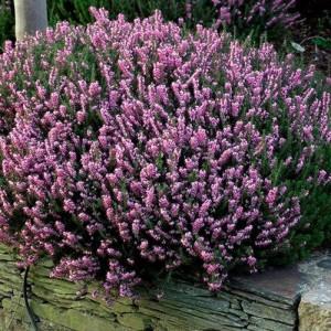 Erica cu florile roz (Erica x darleyensis 'J. W. Porter')