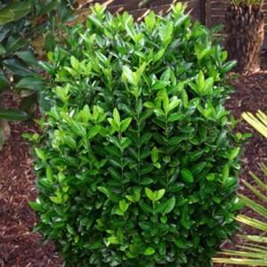 "Euonimus compact verde (Euonymus japonicus ""Compacta"")"