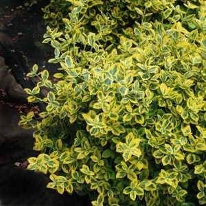 """Euonimus verde cu galben (Euonymus fortunei """"Emerald""""n"""" Gold"""")"""