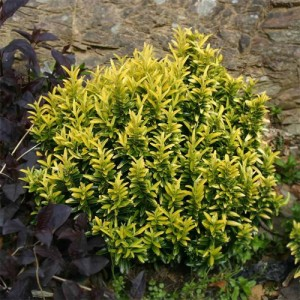 "Euonimus pitic galben (Euonymus japonicus ""Microphyllus"")"