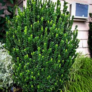 """Evonimus columnar verde (Euonymus japonicus """"Green Spire"""")"""