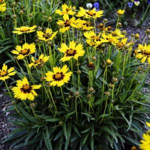 """Floarea """"Ochiul fetei"""" (Coreopsis grandiflora """"Sunkiss"""")"""