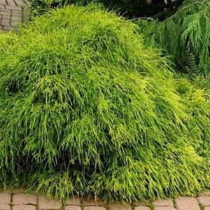 """Chiparos galben ușor pendul (Chamaecyparis pisifera """"Filifera Aurea Nana"""")"""