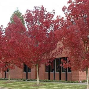 Frasin ornamental (Fraxinus angustifolia 'Raywood')