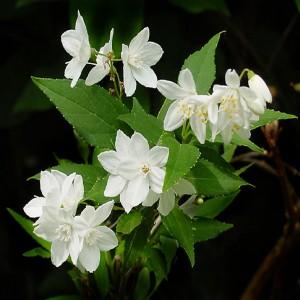 """Deutia (Deutzia gracilis """"Nikko"""")"""