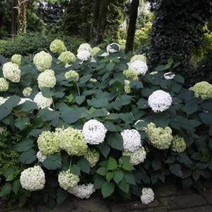 """Hortensia (Hydrangea arborescens """"Annabelle"""")"""