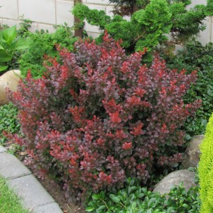 """Dracilă pitică roșie (Berberis thunbergii """"Atropurpurea Nana"""")"""