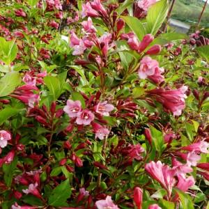 "Veigela cu flori roz dechis (Weigela florida ""Tango"")"
